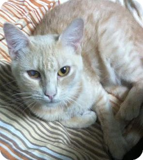 Domestic Shorthair Cat for adoption in Westminster, California - Gail
