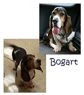Basset Hound Mix Dog for adoption in Marietta, Georgia - Bogart