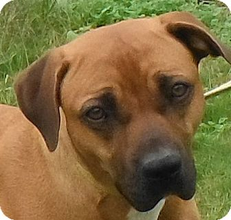 Boxer/Rhodesian Ridgeback Mix Dog for adoption in Cedartown, Georgia - 30062081