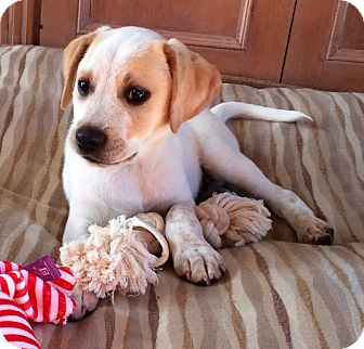 Beagle/Labrador Retriever Mix Puppy for adoption in Westport, Connecticut - *Dylan - PENDING