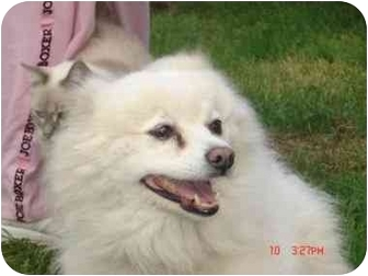 Pomeranian Mix Dog for adoption in Harbor City, California - Pricillia