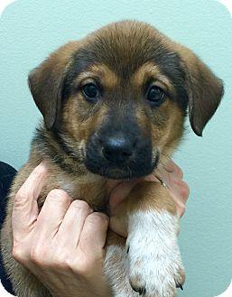 Australian Shepherd/German Shepherd Dog Mix Puppy for adoption in Oswego, Illinois - I'M ADOPTED Ginger Imbrogno