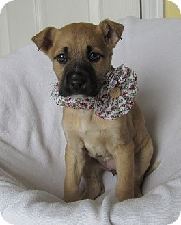 Labrador Retriever Mix Puppy for adoption in New Oxford, Pennsylvania - Daija