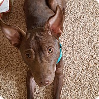 Adopt A Pet :: Choco - Knoxville, TN