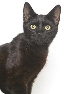 Domestic Shorthair Cat for adoption in Gloucester, Virginia - RAVEN