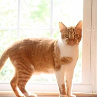 American Shorthair Cat for adoption in New Bern, North Carolina - Bojangles