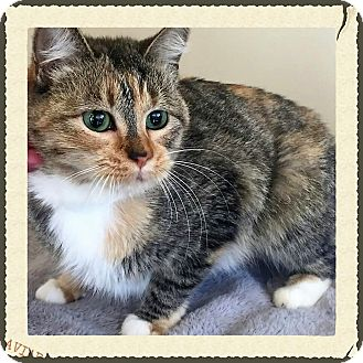 Domestic Shorthair Cat for adoption in Gahanna, Ohio - ADOPTED!!!   Sprinkles