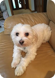 Bichon Frise/Coton de Tulear Mix Dog for adoption in Redmond, Washington - Sophie