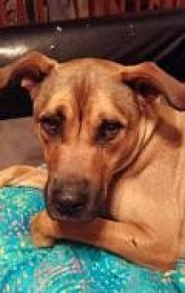 Labrador Retriever/Boxer Mix Dog for adoption in New Albany, Ohio - Mr. T