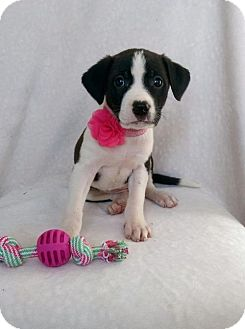 Border Collie Mix Puppy for adoption in Elkton, Maryland - Remy