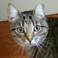 Domestic Shorthair/Domestic Shorthair Mix Cat for adoption in Austin, Texas - Rafiki