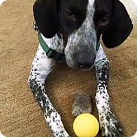 Adopt A Pet :: Auggie - Houston, TX