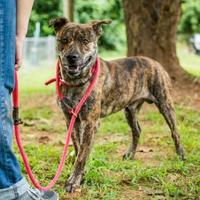 Adopt A Pet :: Simmons - Auburn, AL
