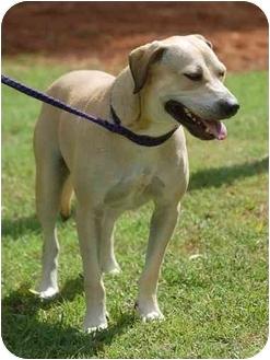Mastiff/Labrador Retriever Mix Dog for adoption in Inman, South Carolina - Toby