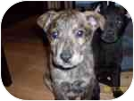 Husky/Labrador Retriever Mix Puppy for adoption in Plainfield, Illinois - Hidy