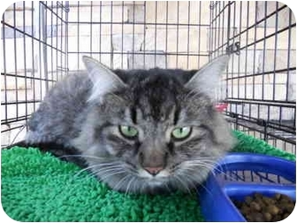 American Bobtail Cat for adoption in Temecula, California - Alea