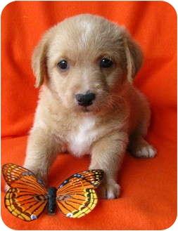 Havanese/Terrier (Unknown Type, Small) Mix Puppy for adoption in Irvine, California - Diesel