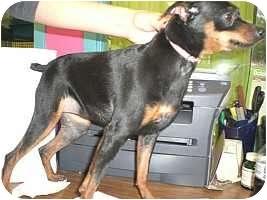Miniature Pinscher Dog for adoption in Columbus, Ohio - Leah