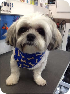 Shih Tzu Mix Dog for adoption in Manchester, Connecticut - Orson