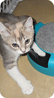 Calico Cat for adoption in Stafford, Virginia - Maddie