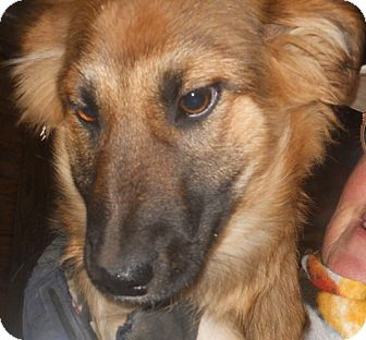 Collie/German Shepherd Dog Mix Puppy for adoption in Belvidere, Illinois - Emme