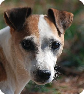 Jack Russell Terrier Dog for adoption in Providence, Rhode Island - Sassy