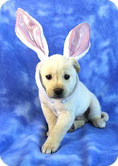 Golden Retriever/Shepherd (Unknown Type) Mix Puppy for adoption in Westminster, Colorado - Leo