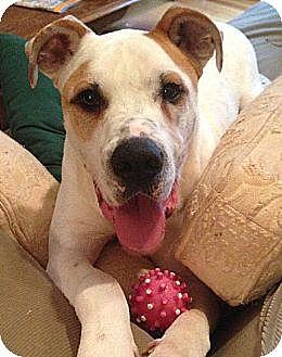 American Bulldog/Great Dane Mix Dog for adoption in Dallas, Georgia - Stone