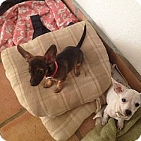 Adopt A Pet :: Coffee - Cathedral City, CA