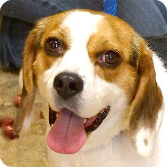 Beagle Mix Dog for adoption in Sprakers, New York - Bingo
