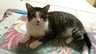 Domestic Shorthair/Domestic Shorthair Mix Cat for adoption in Mesa, Arizona - Purrby