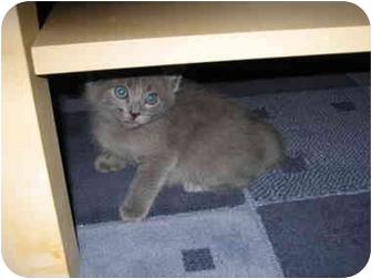 Domestic Mediumhair Kitten for adoption in Davis, California - Tully