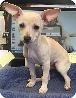 Chihuahua Puppy for adoption in Mount Pleasant, South Carolina - Owen