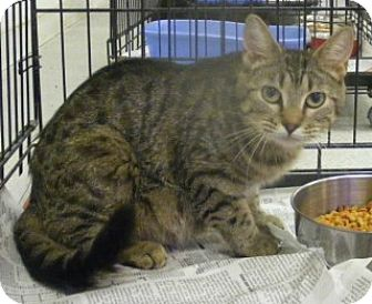 Domestic Shorthair Cat for adoption in Olive Branch, Mississippi - Roxanne