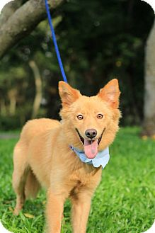 Finnish Spitz Dog for adoption in Sunnyvale, California - Rody