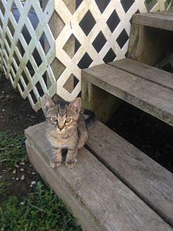 Domestic Shorthair Kitten for adoption in Clarkson, Kentucky - Ellie