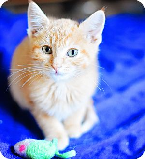 Domestic Shorthair Kitten for adoption in Xenia, Ohio - Odie