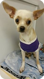 Chihuahua Dog for adoption in Wallingford Area, Connecticut - Ernie