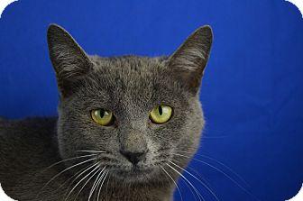 Russian Blue Cat for adoption in LAFAYETTE, Louisiana - Dilbert