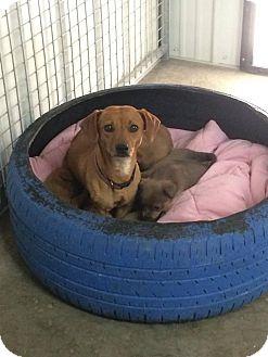 Dachshund Dog for adoption in Woodward, Oklahoma - Daphne