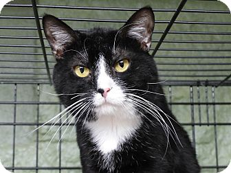 Domestic Shorthair Cat for adoption in Marlinton, West Virginia - Paws