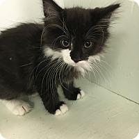 Adopt A Pet :: Manly Jo - Medina, OH