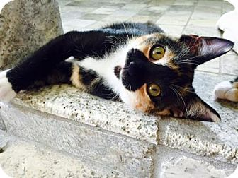 Domestic Shorthair Kitten for adoption in Plymouth Meeting, Pennsylvania - Teapot