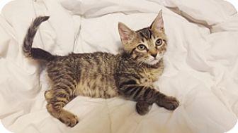 Egyptian Mau Kitten for adoption in Cerritos, California - Sally