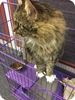 Maine Coon Cat for adoption in Branson, Missouri - Zsa Zsa Gabore
