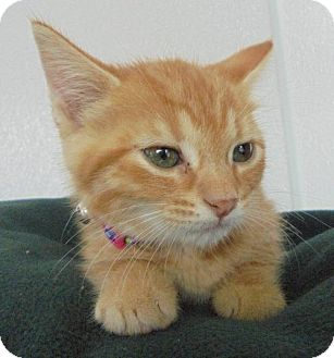 Domestic Mediumhair Kitten for adoption in Livonia, Michigan - C16 Litter-Foxy-ADOPTED