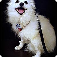 Adopt A Pet :: Paulina - Elmhurst, IL