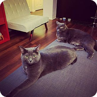 Russian Blue Cat for adoption in THORNHILL, Ontario - SMOKY (BONDED WITH MISTY)