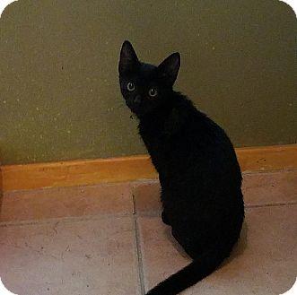 Domestic Shorthair Cat for adoption in Tampa, Florida - Fernando