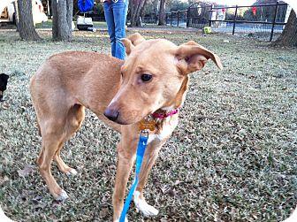 Labrador Retriever/English Springer Spaniel Mix Dog for adoption in Boerne, Texas - Lana